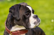 The Echo is backing Boxer Dogs in Team Dogs' search for the UK's favourite breed